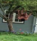 Naked Man Climbs A Tree 1